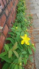 Looking at this (inthepinkJune) Tags: aldershot england gb hypericum bricks exuberant yellow
