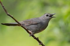 Cat Calls (NicoleW0000) Tags: catbird bird songbird naturephotography wildlife nature outdoor ontario park