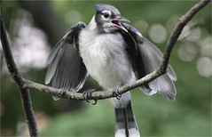 Young Blue Jay (ioensis) Tags: young youngster bluejay cyanocittacristata birds jdl ioensis webstergroves missouri mo june 2018 17930001806201b©johnlangholz2018 wings squawk langholz