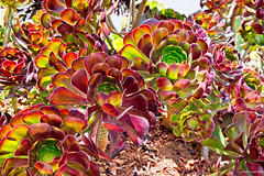 Colorful Succulent (markjwyatt) Tags: colorful succulent plant aeonium