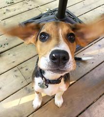 The ears (GBaker63) Tags: dog beagle puppy ears apple iphone6s