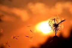 Dandelion and sunset ☀️ (Martib97) Tags: sun red sunset italy italia lombardia bergamo lecco wind dandelion