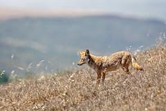 Marin Coyote (lennycarl08) Tags: animalplanet coyote