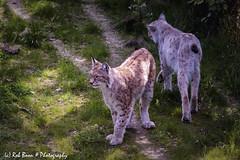 20180527_3374_Lynx-bw (Rob_Boon) Tags: dier gaiazoo kerkrade lynx robboon