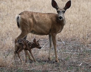 Mule Deer Doe With Newborn Fawn