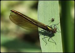 Female Beautiful Demoiselle (glostopcat) Tags: beautifuldemoiselledamselfly damselfly demoiselle insect invertebrate macro glos june summer forestofdean linearpark cinderford ordonata