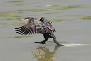 Great cormorant landing on the river
