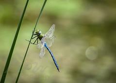 Gossamer Wings (Fourteenfoottiger) Tags: light shimmer summer wings dragonfly insects odonata bokeh nature britishwildlife beautiful sunlight delicate emperordragonfly