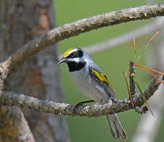 Golden-winged Warbler (Digital Plume Hunter) Tags: