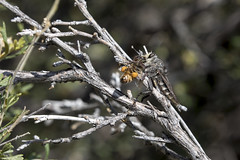 The Robber Fly and the Honey Bee (Critter Seeker) Tags: robberfly honeybee fly bee prey predation nature nationalpark natural outdoors outside insect bug wildlife wild arizona southwest grandcanyon grandcanyonnationalpark