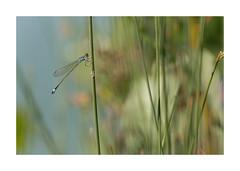 Libellule-4974125A4974 (helenea-78) Tags: macro nature proxy insecte insectes