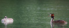 Last Call... c'mon babe (EPGraphics) Tags: wien vienna austria österreich tier animal wasservögel waterbirds nature natur love liebe canon eos 70d sigma contemporary 150600