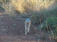Madikwe Game Reserve (Laika ac) Tags: madikwegamereserve southafrica safari jackal