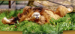 Bruno00010 packed (Rasenche) Tags: animal carnivore cat mammal bigcat annapaulowna stichtingleeuw lion