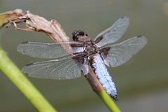 A dragonfly at rest! (Zavud) Tags: dragonfly insect insects damselfly entomology zoology biology ecology wildlife nature conservation ecosystem