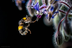 making base (rich lewis) Tags: macro macrophotography nature bumblebee richlewis