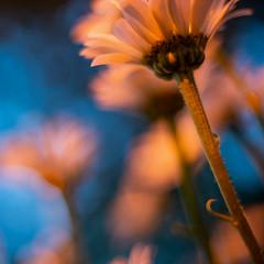 daisies dusk glow 2136 (DannyBurkPhotography) Tags: daisy flower garden closeup sunset glow a7riii 50mm f14 planar planar5014ze
