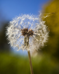 Dandelion in the Wind (Arranion) Tags: dandelion flower seed seeds nature garden sky green blue macro macromania wind canon eos 5d2 2880mm