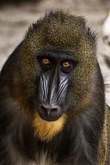 Mandrill (ucumari photography) Tags: ucumariphotography mandrill mandrillussphinx oldworldmonkey cercopithecidae lowrypark zoo tampa florida fl may 2018 animal mammal dsc9038 specanimal