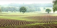 Green Lines (Nathan J Hammonds) Tags: corn field farm farming tree trees landscape lines perspective mist shropshire uk nikon d750 rolling soil summer