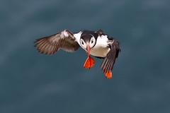 Puffin (Ally.Kemp) Tags: puffin dunnet head scottish scotland sea bird colony caithness wildlife north coast 500