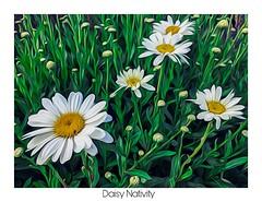 Daisy Nativity (amarilloladi) Tags: painterly hss sliderssunday garden flora field whiteborder art flowers daisies daisy