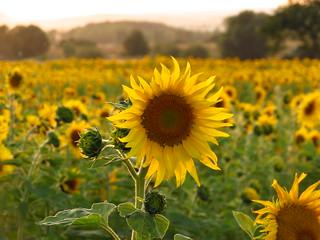 Sonnenblumenfeld an der A71