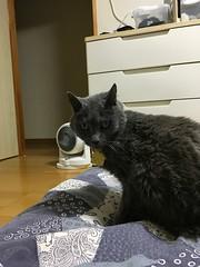 Argent Wonders Why Tigger is on the Futon (sjrankin) Tags: 11july2018 edited animal cat closeup futon blanket bedroom upstairs kitahiroshima hokkaido japan argent