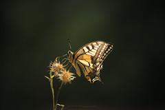 IMG_8095 (BPM.Photography) Tags: papillon butterfly naturephotography macrodreams macrocaptures macro nature nofilter naturebeauty naturemacro beautifulword colorsoftheworld lumière light summer beauty