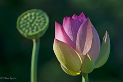 Coming and Going (dngovoni) Tags: dc flower lotus background closeup kenilworthaquaticgardens seedpod sunrise washington districtofcolumbia unitedstates us