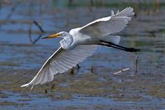 Great White Egret (cseager40) Tags: white egret marsh swamp flight flying bif great