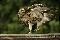 death of a hawk (Christian Hunold) Tags: redtailedhawk buteojamaicensis rotschwanzbussard urbanhawk philadelphiamuseumofart christianhunold