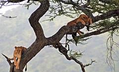 Siesta at the Lions Club (tor-falke) Tags: africa afrika afrique afrikanwildlife african lion löwe wild wildlife tree trees baum bäume arbre safari fotosafari photographie photosafari torfalke flickrtorfalke outdoor