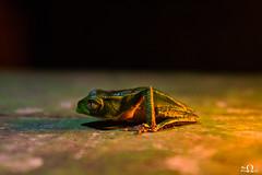 23032018-Phyllomedusa_vaillanti-4 (Ilan PEREZ Photography) Tags: frog grenouille phyllomedusa guyane amazon nature animal