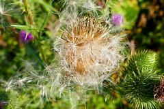 Bull Thistle - Seed (ivlys) Tags: biebesheim rhein rhine fluss river gemeinekratzdistel bullthistle cirsiumvulgare samen seed pflanze plant natur nature makro macro ivlys