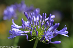 """In the garden, """"Agapanthus"""" (Fred / Canon 70D) Tags: canon canon70d canoneos closeup agapanthus garden eefde achterhoek ef100mmf28lmacroisusm"""