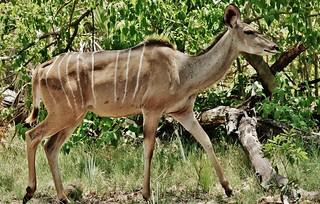 Female Greater Kudo (Tragelaphus strepsiceros)