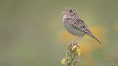 Grasshopper Sparrow (Ammodramus savannarum) (ER Post) Tags: bird flannelmulleinverbascumthapsus grasshoppersparrowammodramussavannarum lambsears mullein plant sparrow wildflower fennville michigan unitedstates us
