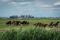 Horses on the Riverbank (g_heyde) Tags: horse containervessel riverelbe embankmentforeland freiburg deichvorland pferde rx100iii