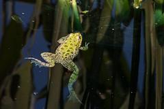La grenouille (clamar18) Tags: chaumont chateau jardin frog grenouille eau