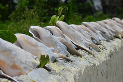 Save the Conch (Nick Angus) Tags: conch shells many nature wall line nikon