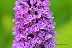 Southern Marsh Orchid (Mike Slade.) Tags: southernmarshorchid dactylorhizapraetermissa wild flower stovercountrypark newtonabbot devon england ©mikeslade