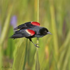 Red-winged Blackbird (TomLamb47) Tags: wildlife nature bird rwbl redwinged blackbird wetlands fruitland park florida fl canon 1d4 100400mm