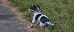 Taking A Stand (Scott 97006) Tags: dog protest resist grass canine animal pet leash puppy