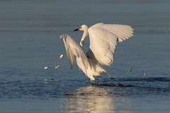 Fish are jumpin' (Gary McHale) Tags: fish jumping reddish egret white morph running chasing fishing fort myers florida gary mchale