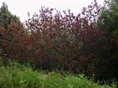 Buisson ardent (Gilbert-Noël Sfeir Mont-Liban) Tags: buissonardent kesserwan montliban liban mountlebanon lebanon natur nature