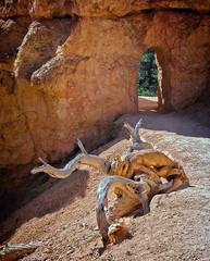 Dragon attacking an octopus (Tigra K) Tags: unitedstates us bryce utah dragon funny nature rock shape tree usa wood arch