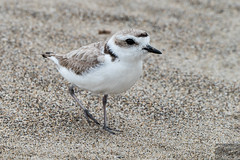 SNPL female (Corvus707) Tags: pointreyes pointreyesnationalseashore beach sand snowyplover plover nationalpark findyourpark conservation biology endangered panasonic lumix nature outdoors outdoorphotography