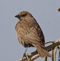 Brown Headed Cowbird (richmondbrian) Tags: dncb 201829 tsawwassen reifel