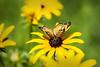 Black Eyed Susan And A Butterfly (Modkuse) Tags: butterfly insect blackeyedsusan flower flowers macro macrophotography macrolens macroinsects macroflower nikon nikondslr nikond700 105mm 105mmf28nikkormacro nikon105mmf28macronikkor